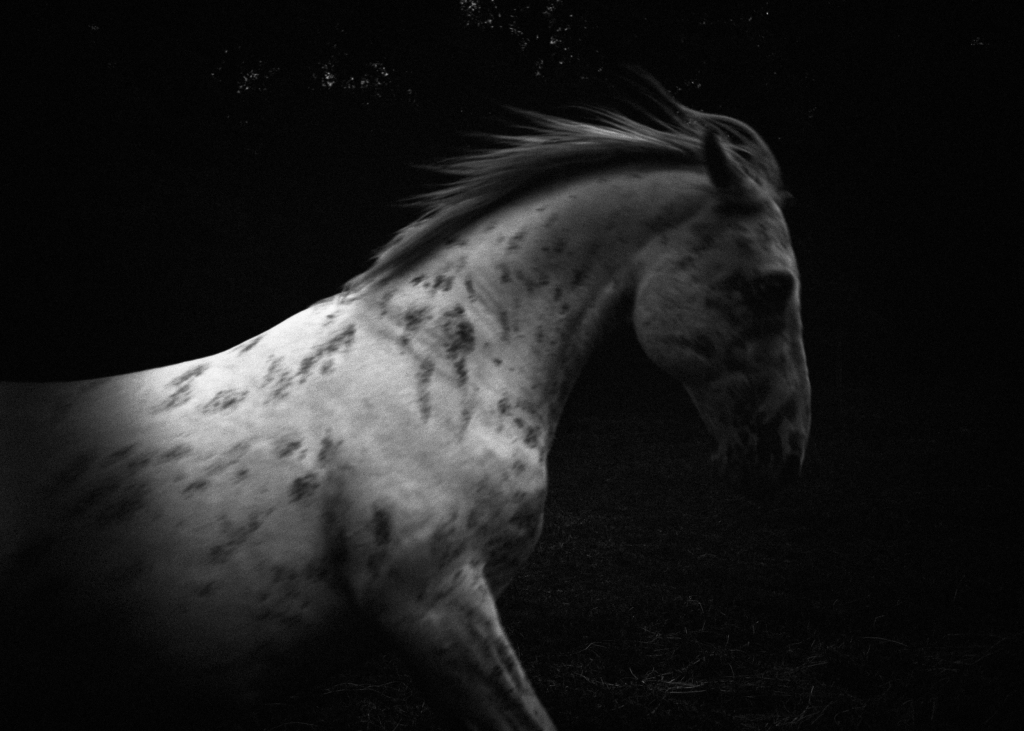 White horse in the black forest